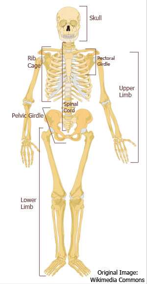 a description of the skeletal system Structure and functions of bones - the functions of the skeleton include: support, protection, assisting in movement, storage of minerals, production of blood cells, and storage of chemical energy.